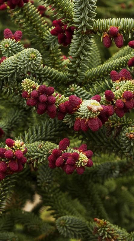Pine Fruits