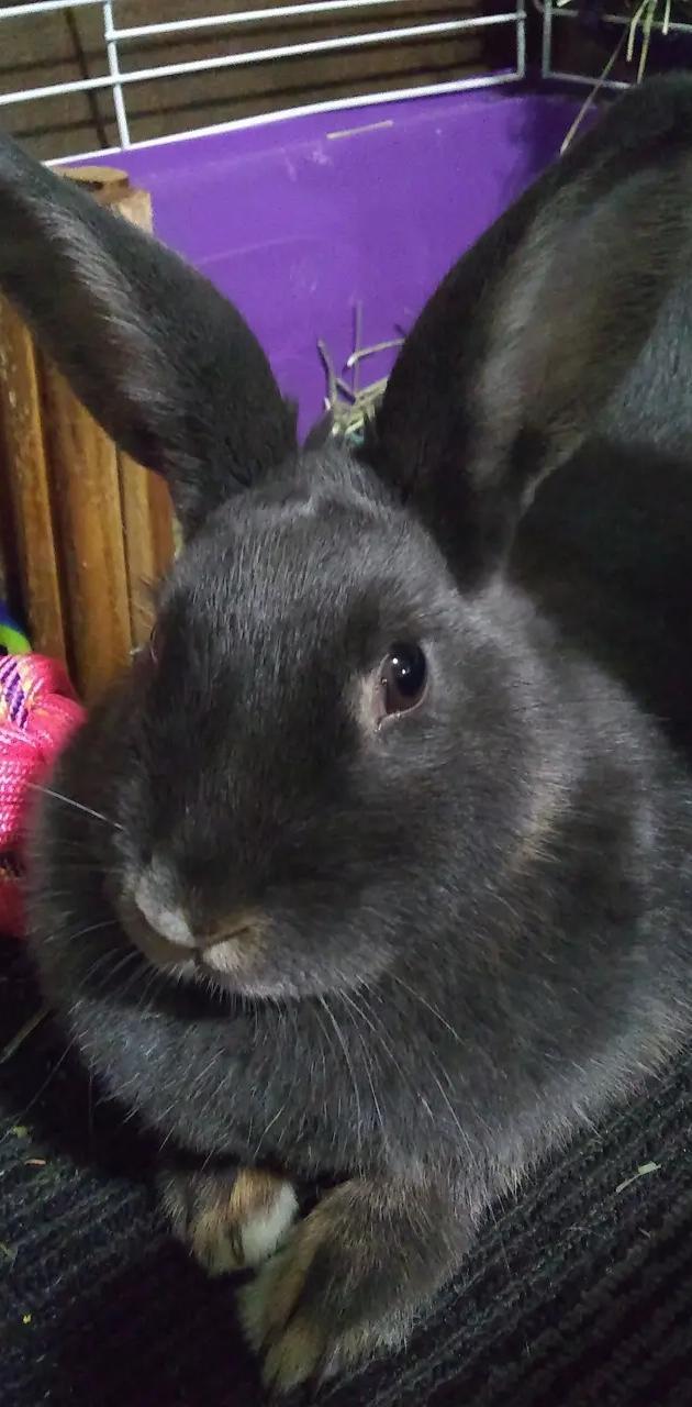 Grey bunny bun