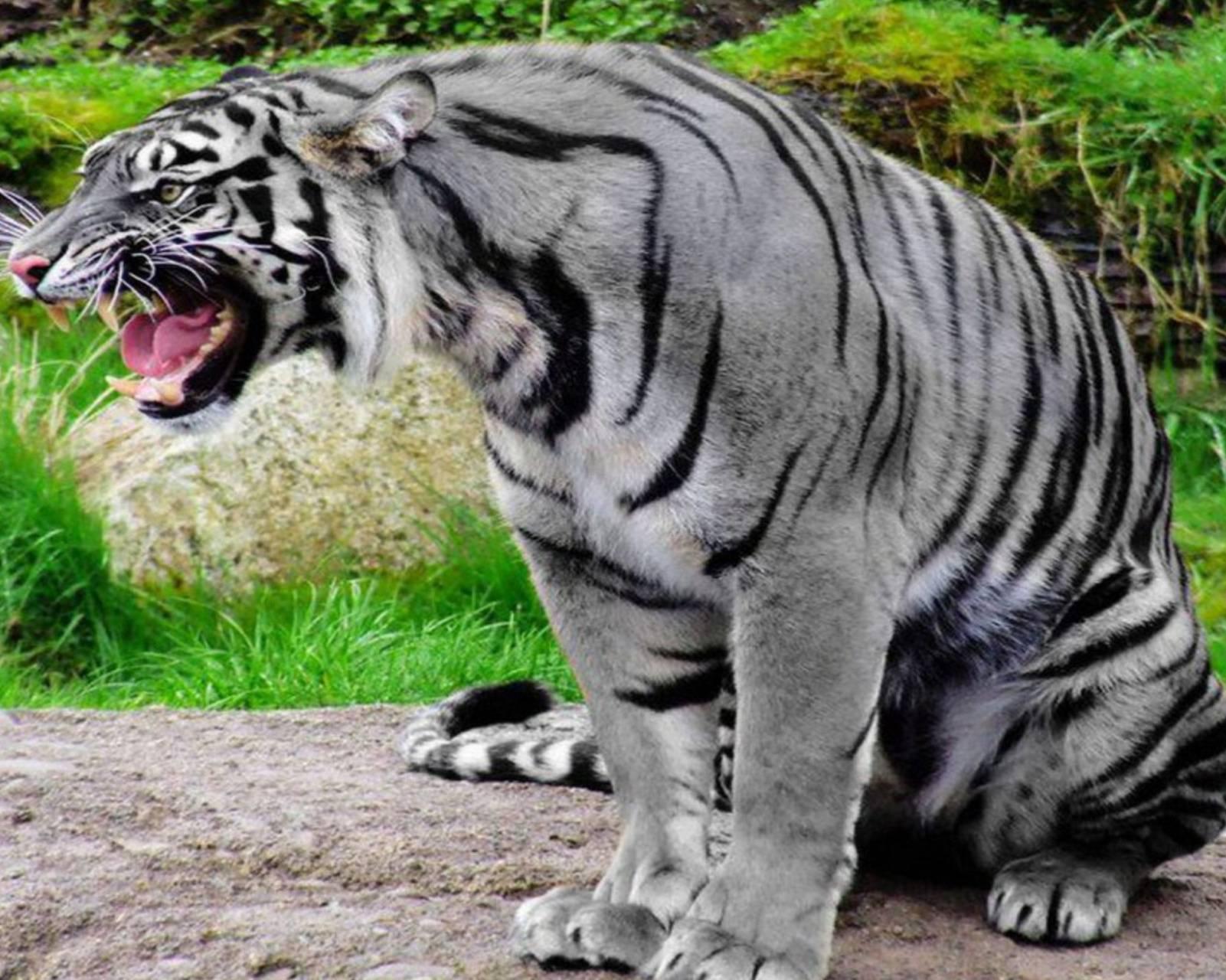 Angry gray tiger