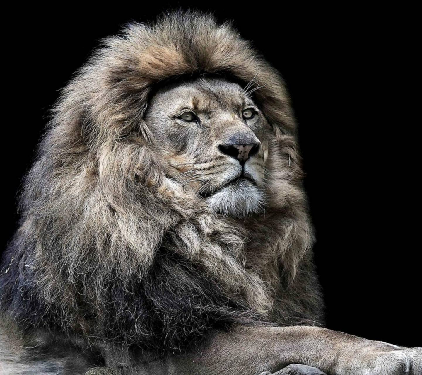 Majestic Lion Wallpaper By Sphinxlars 09 Free On Zedge