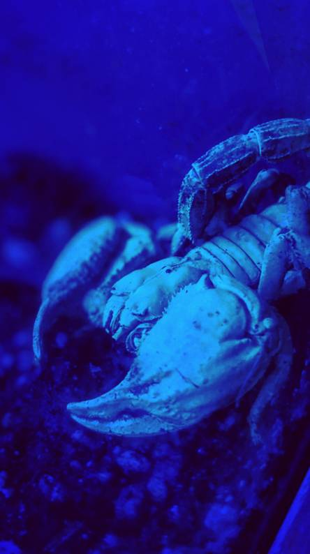 Scorpion Blacklight