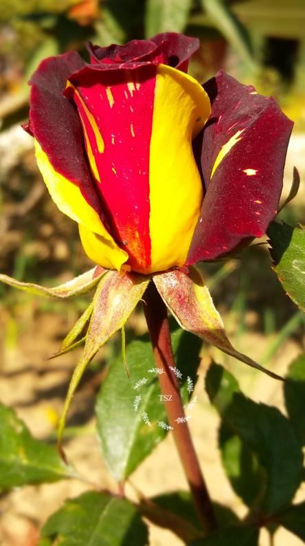 Rose TSZ