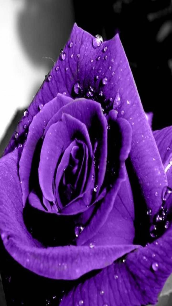 Purple Rose 4