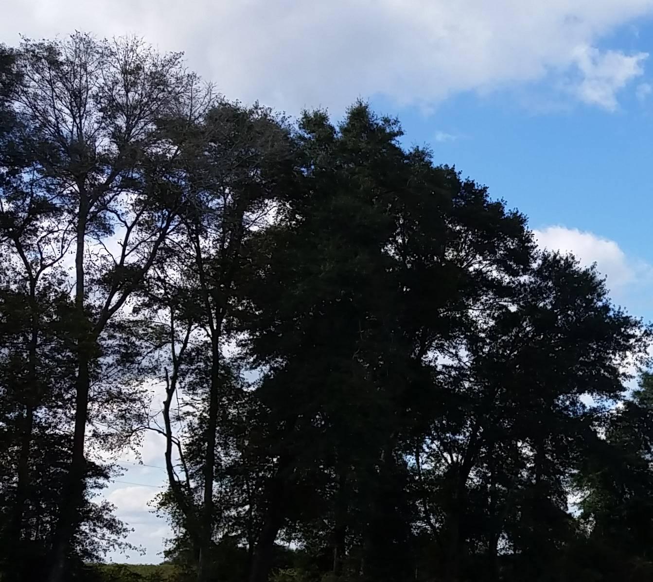 Bama trees