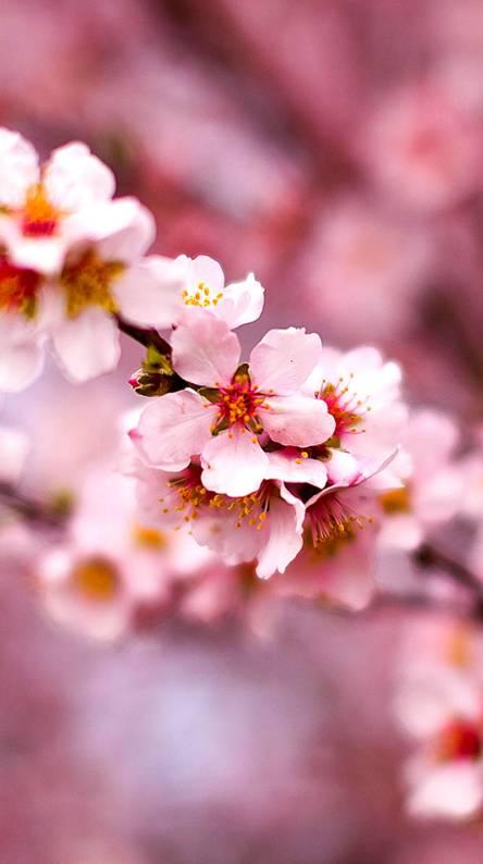 cherry blossom wallpaper iphone