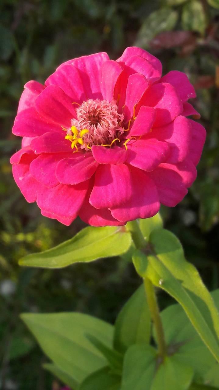 Pink Daisie