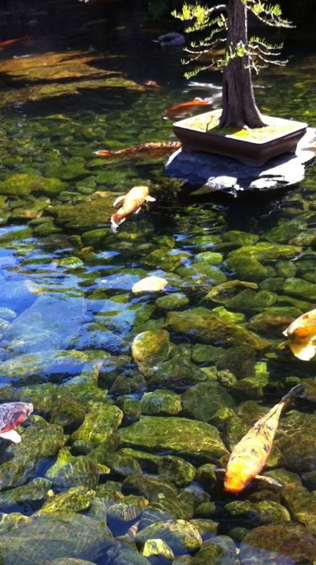 Japanese goldfish