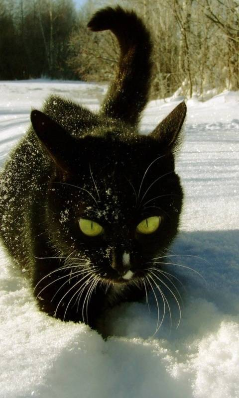 Snow Black Cat