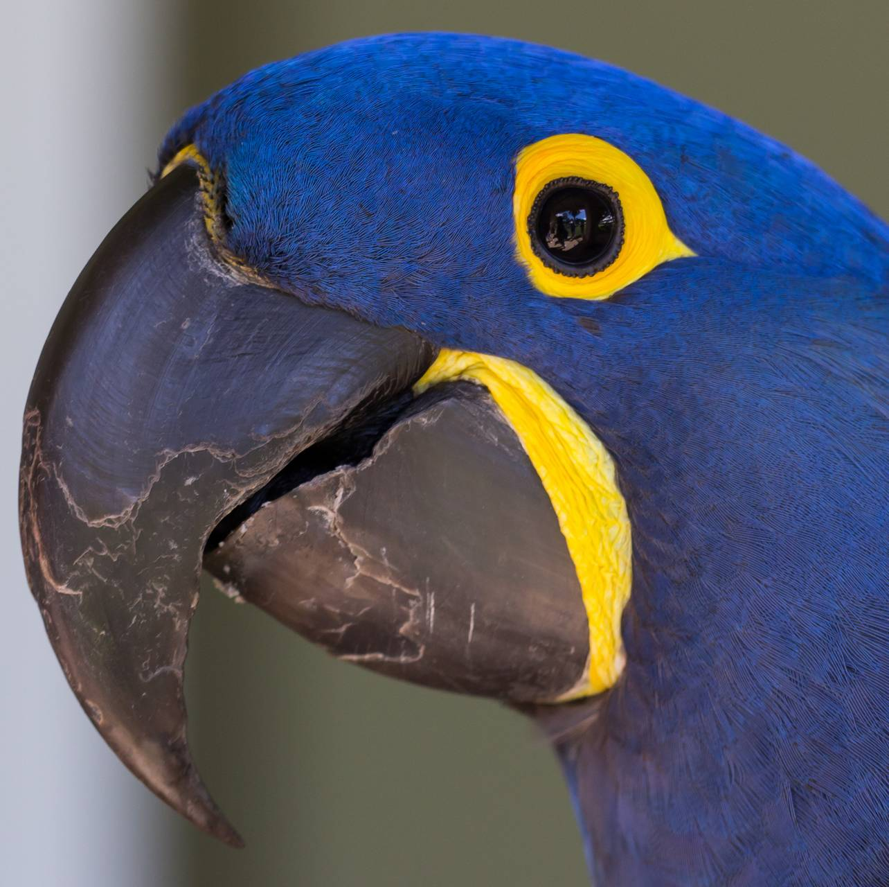 Macaw face