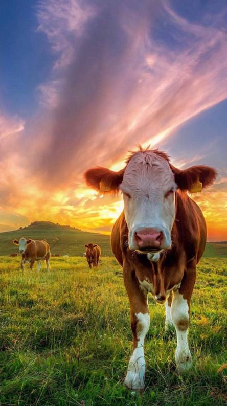 Cow Ringtones And Wallpapers Free By Zedge