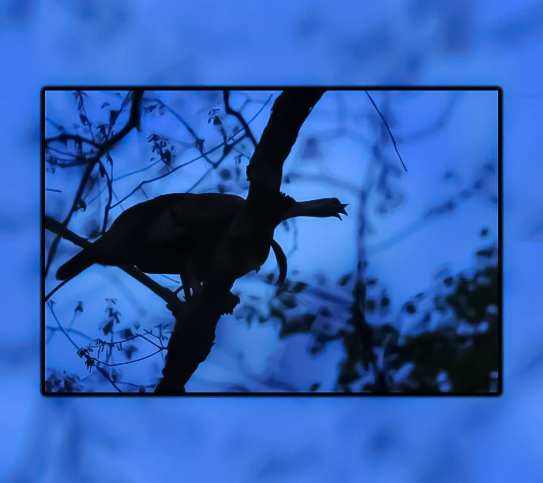 Wild Turkey Gobbling