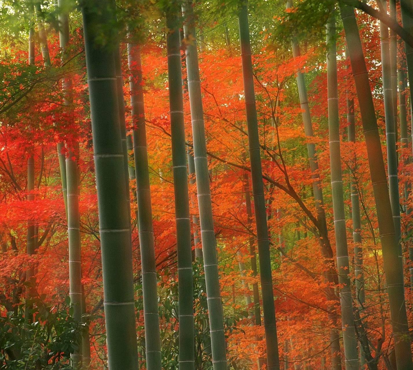 Nature Bambo