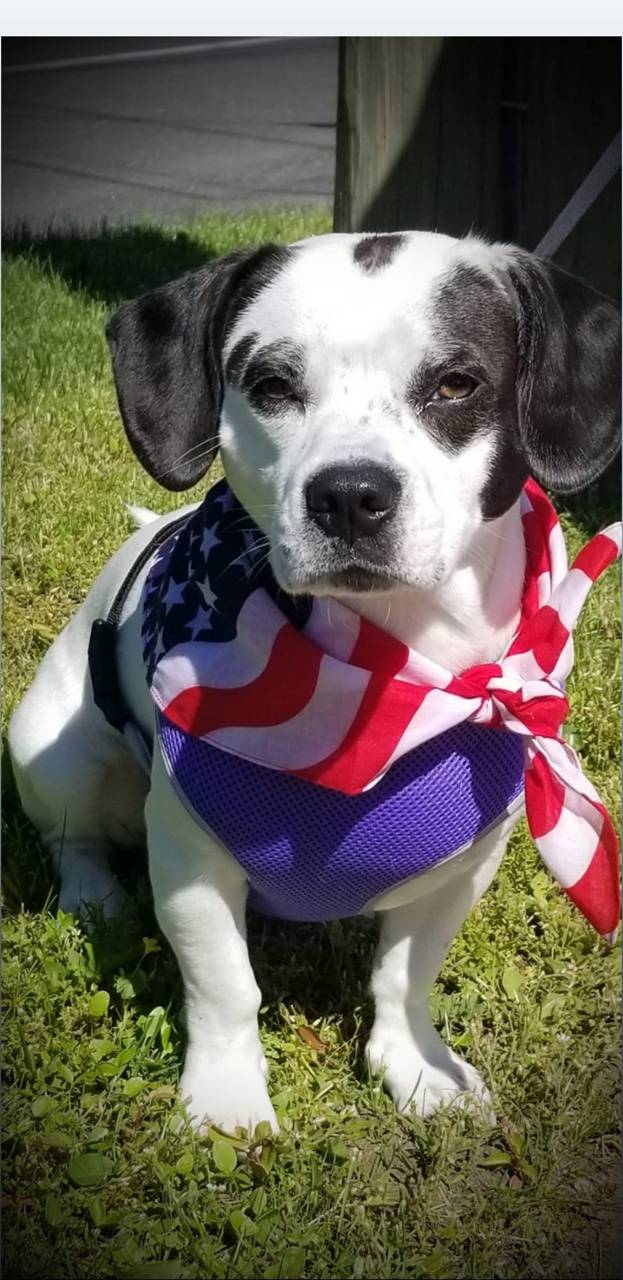 Memorial day puppy