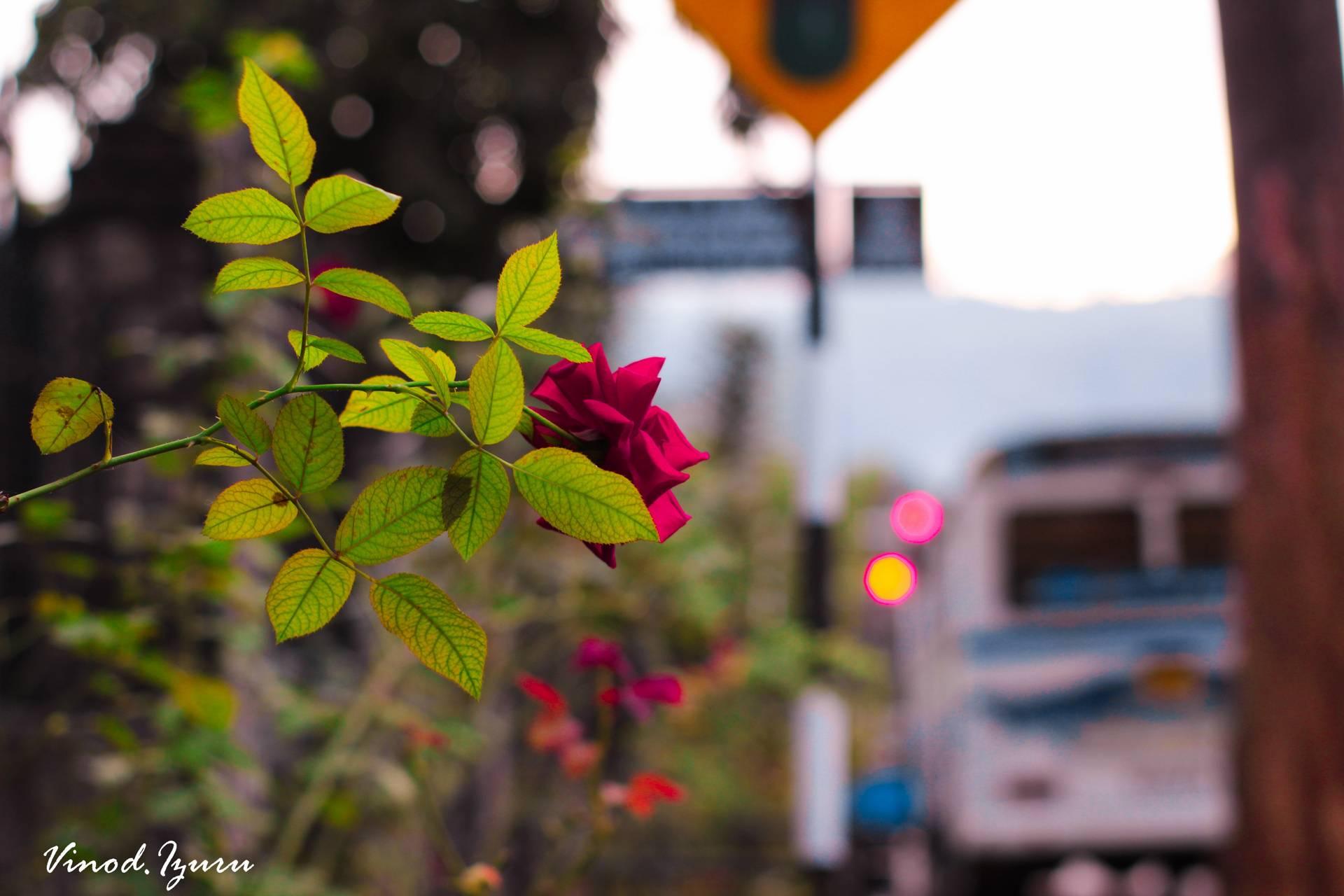 Road Rose