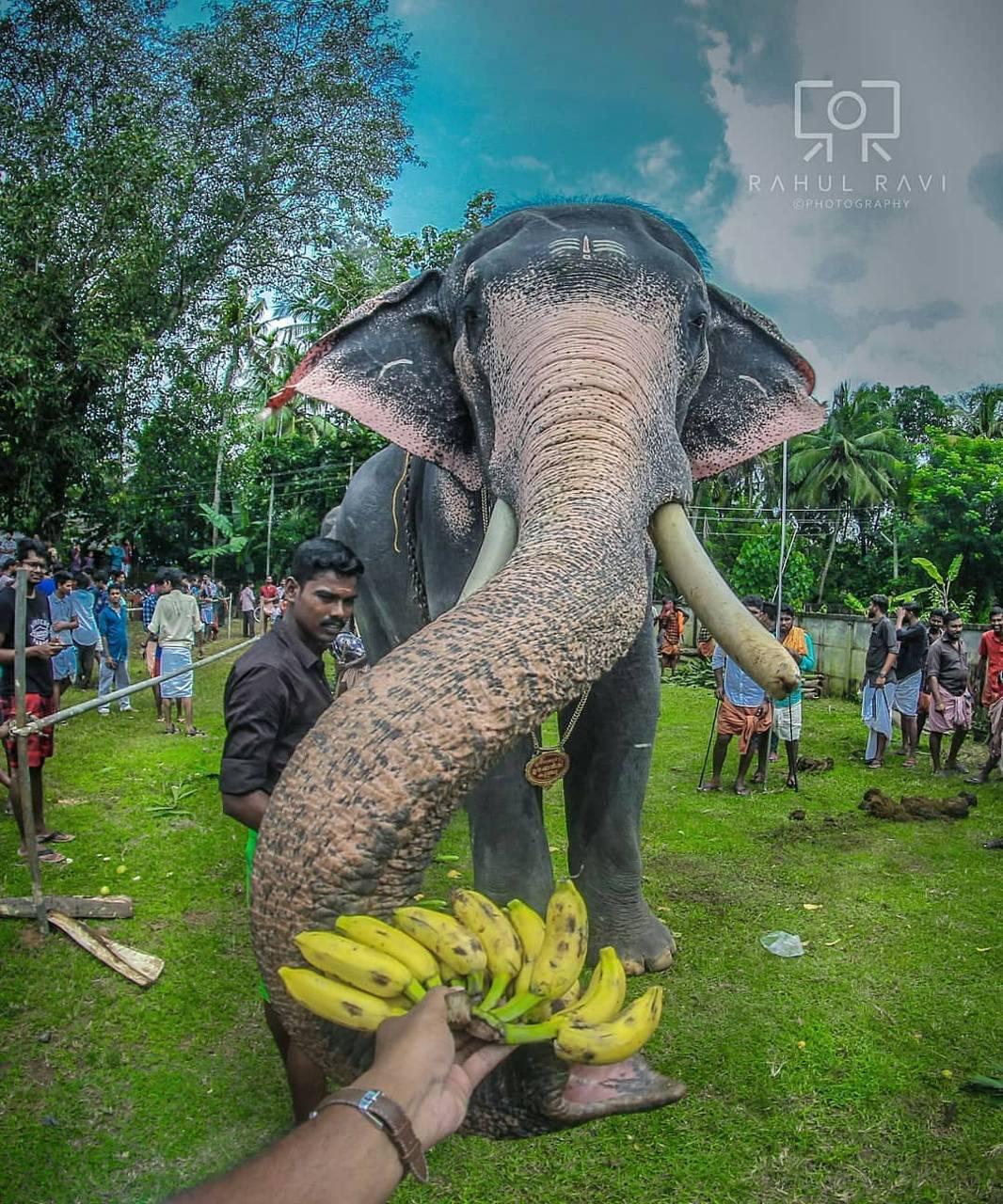 Kerala elephant wallpaper by Gurusad - 85 - Free on ZEDGE™