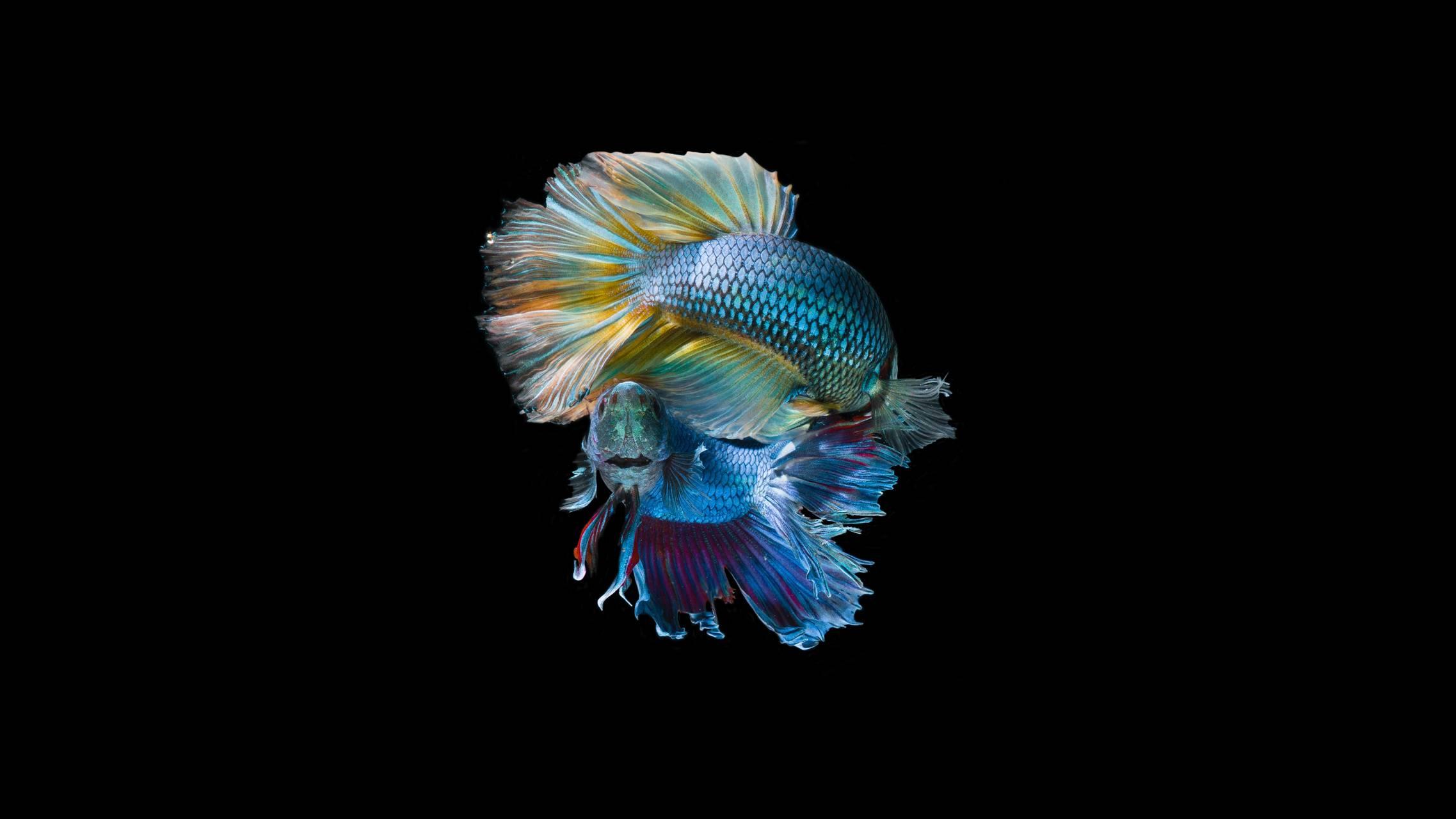 Fish hd