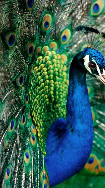 Peacock Wallpapers Colorful Hd