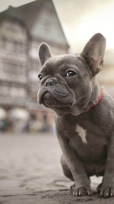 French Bulldog Wallpapers Free By Zedge