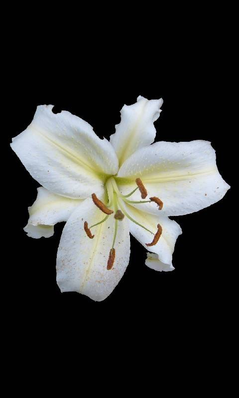 White Lily 3