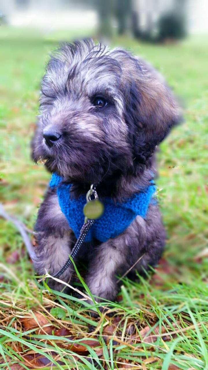 Cute doodle puppy