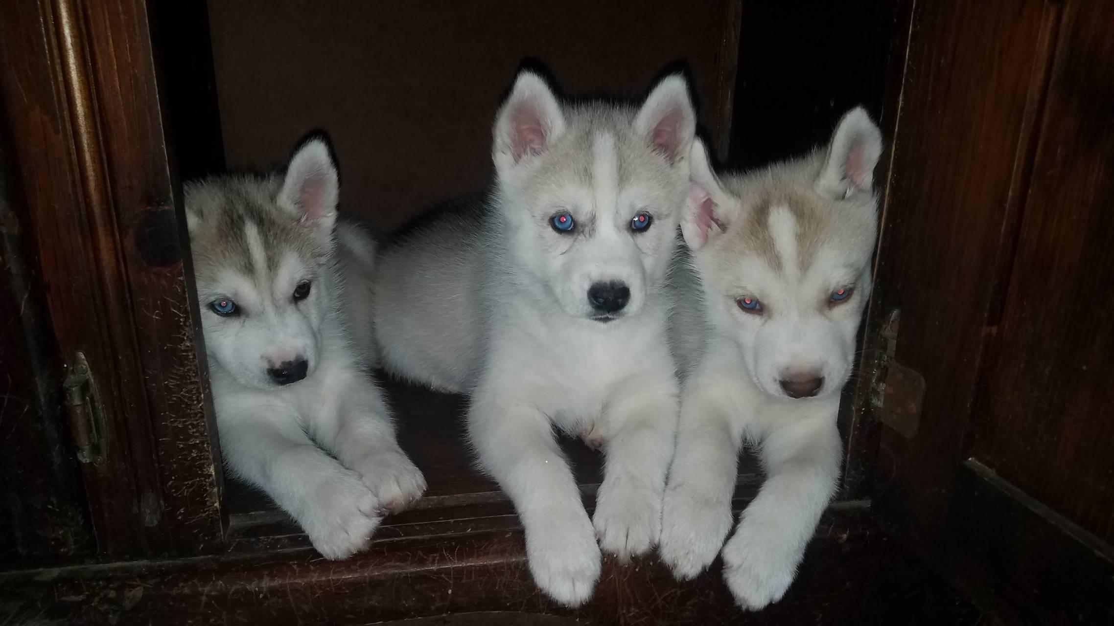Husky babies