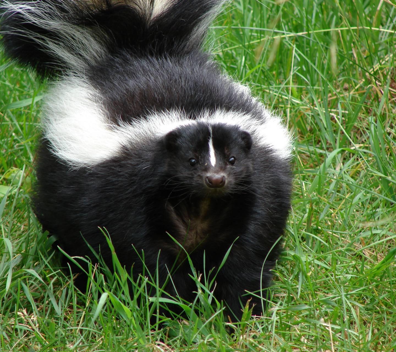 Triggered skunk