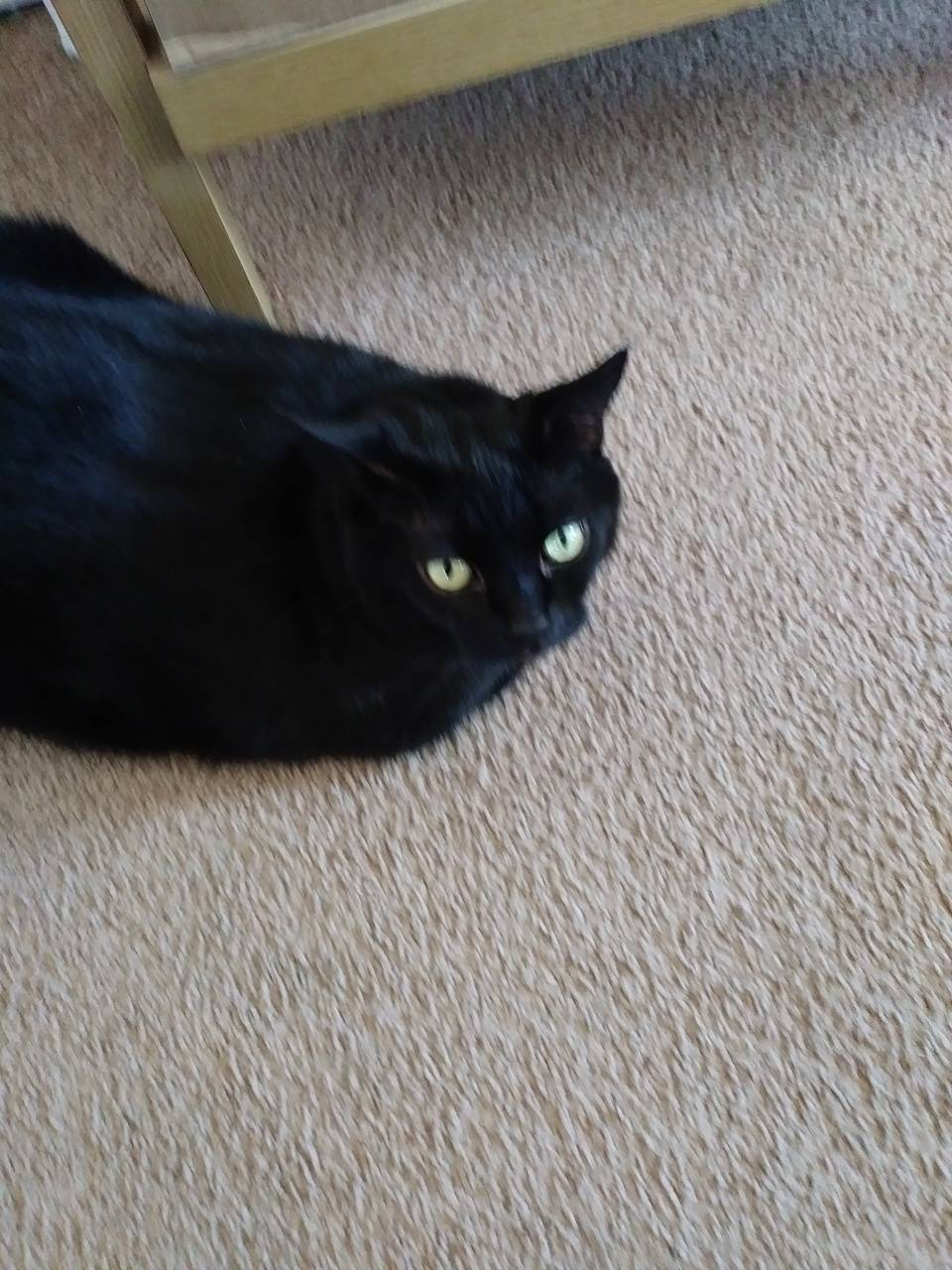 Sheba the black cat