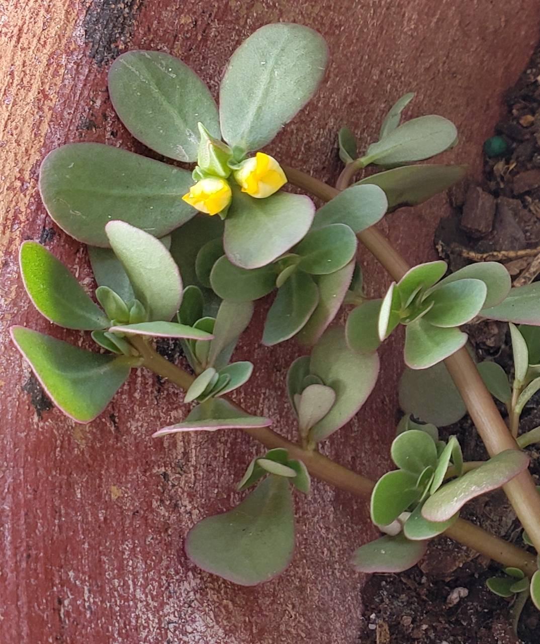 mini rose
