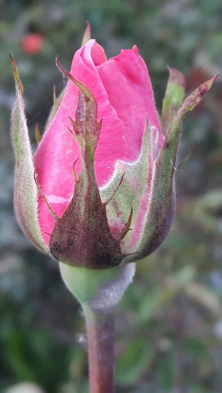 Pink rosebuds