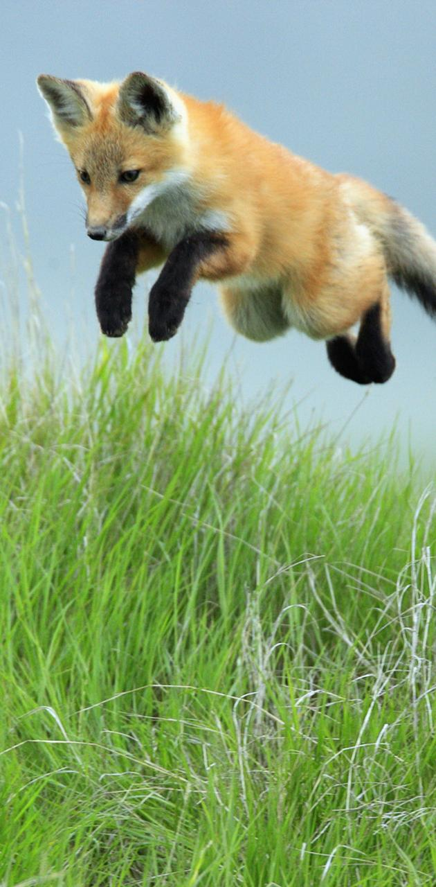 Leaping Red Fox Pup