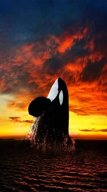 Orca Wallpapers Free By Zedge