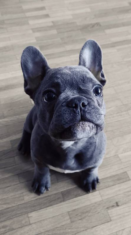 French Bulldog Puppy Wallpapers Free By Zedge