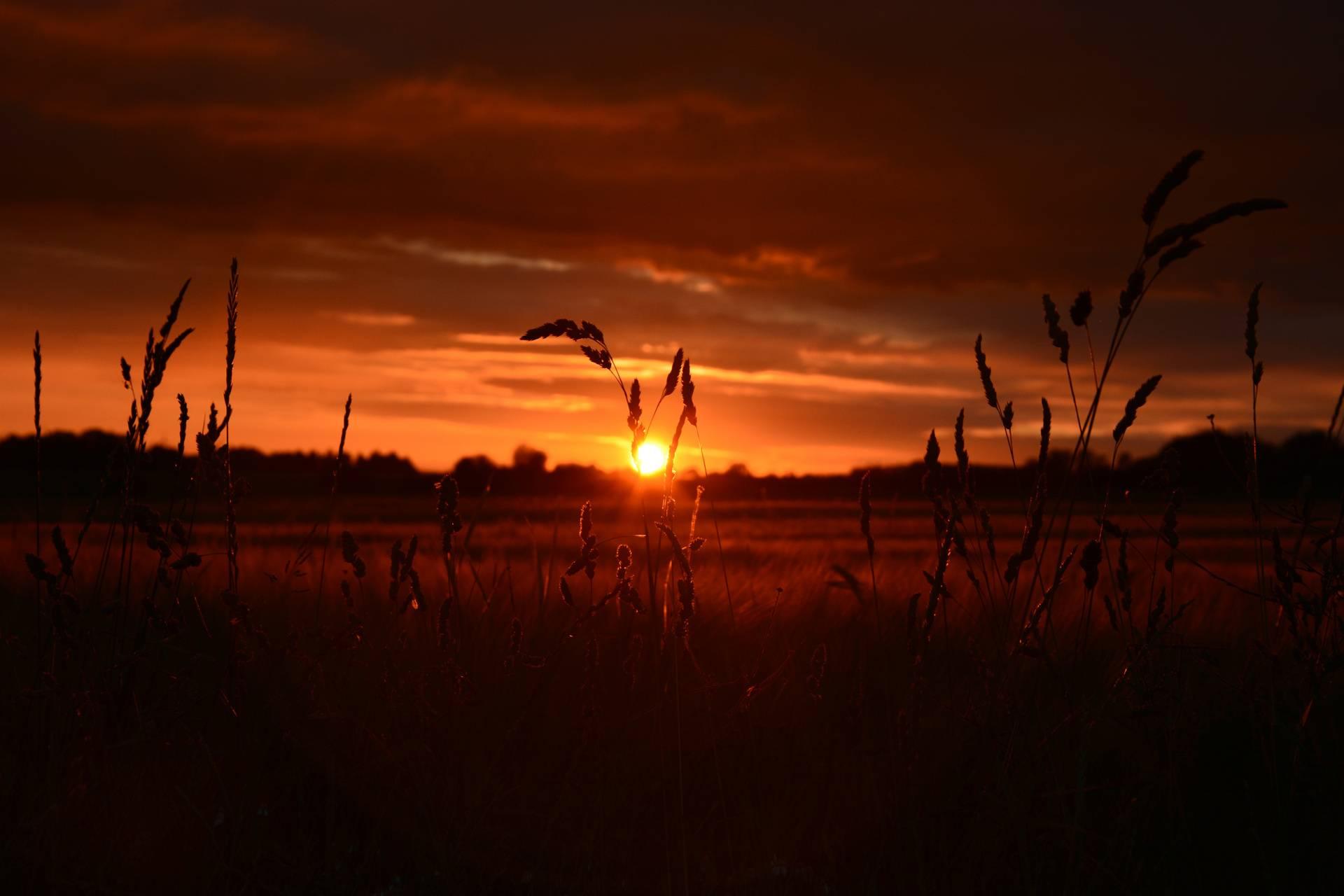 Orange wheat field