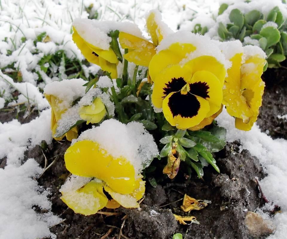 Bratki-flowers