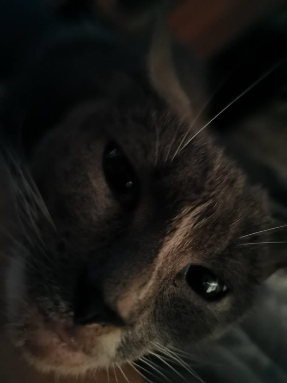 Smoky gray Cat