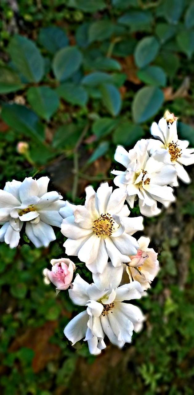 srilanka flowers