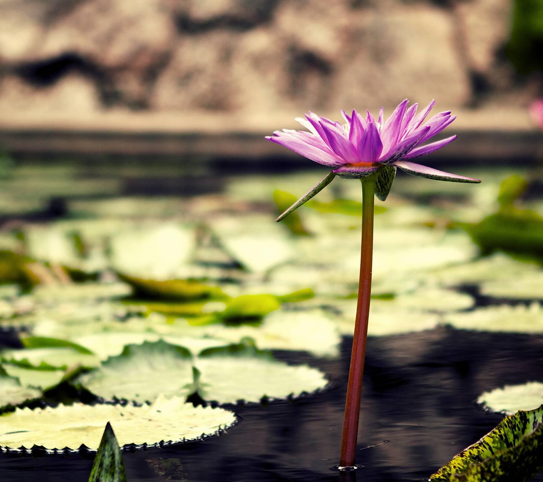 Nice Lotus