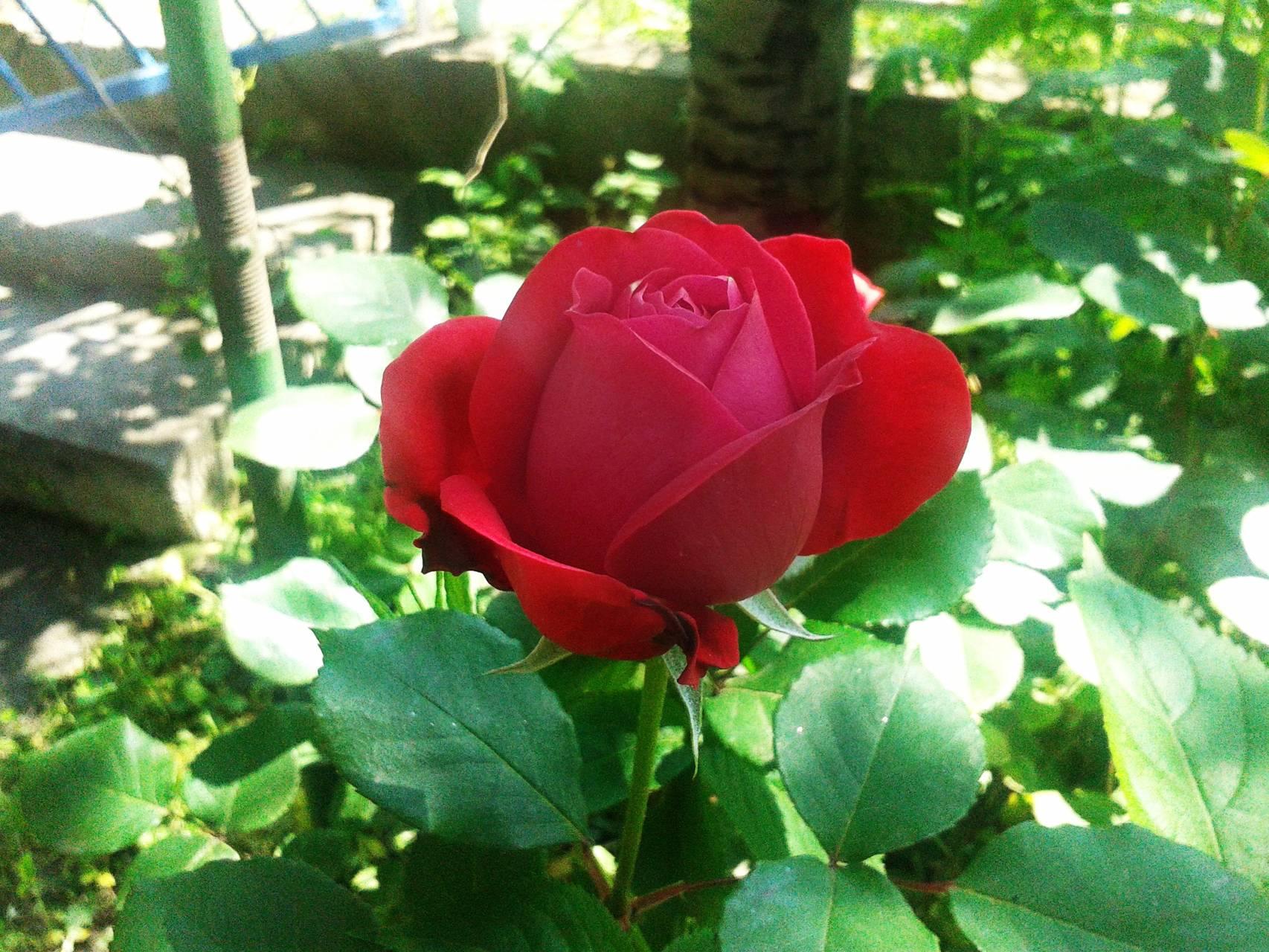 Tetovo rose