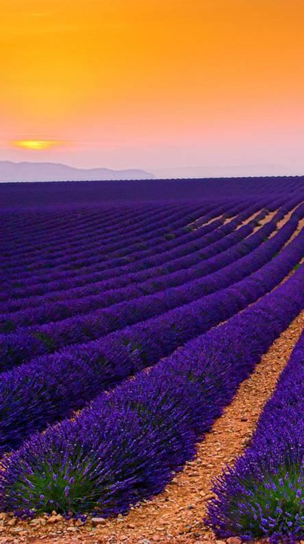 Spring Lavender