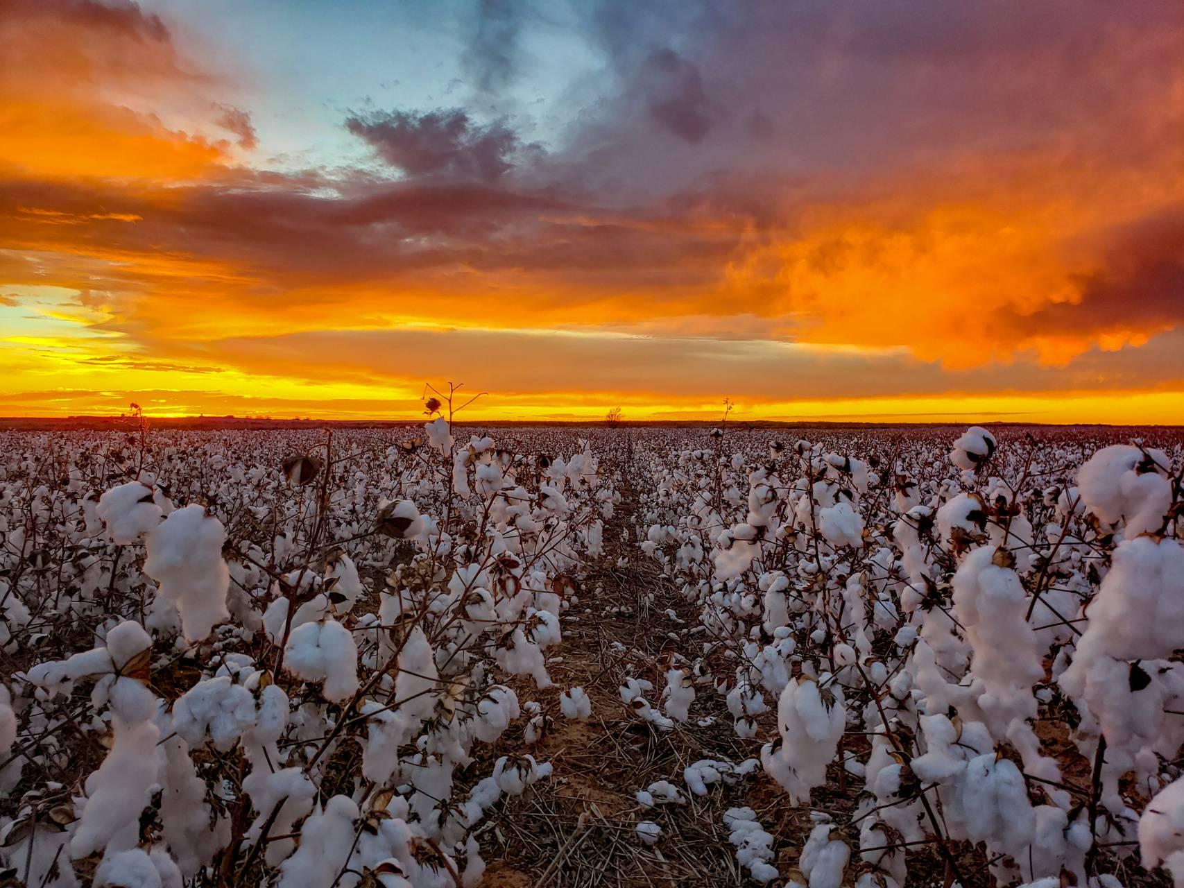 Texas cotton sunset