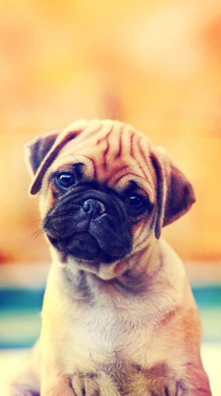 Pug Wallpapers Free By Zedge