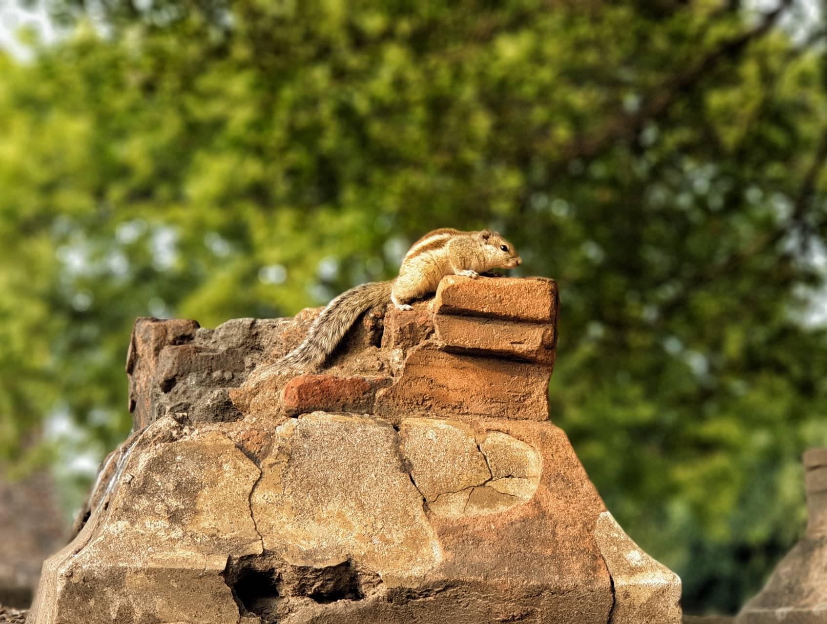 Squirrel of Badalpur