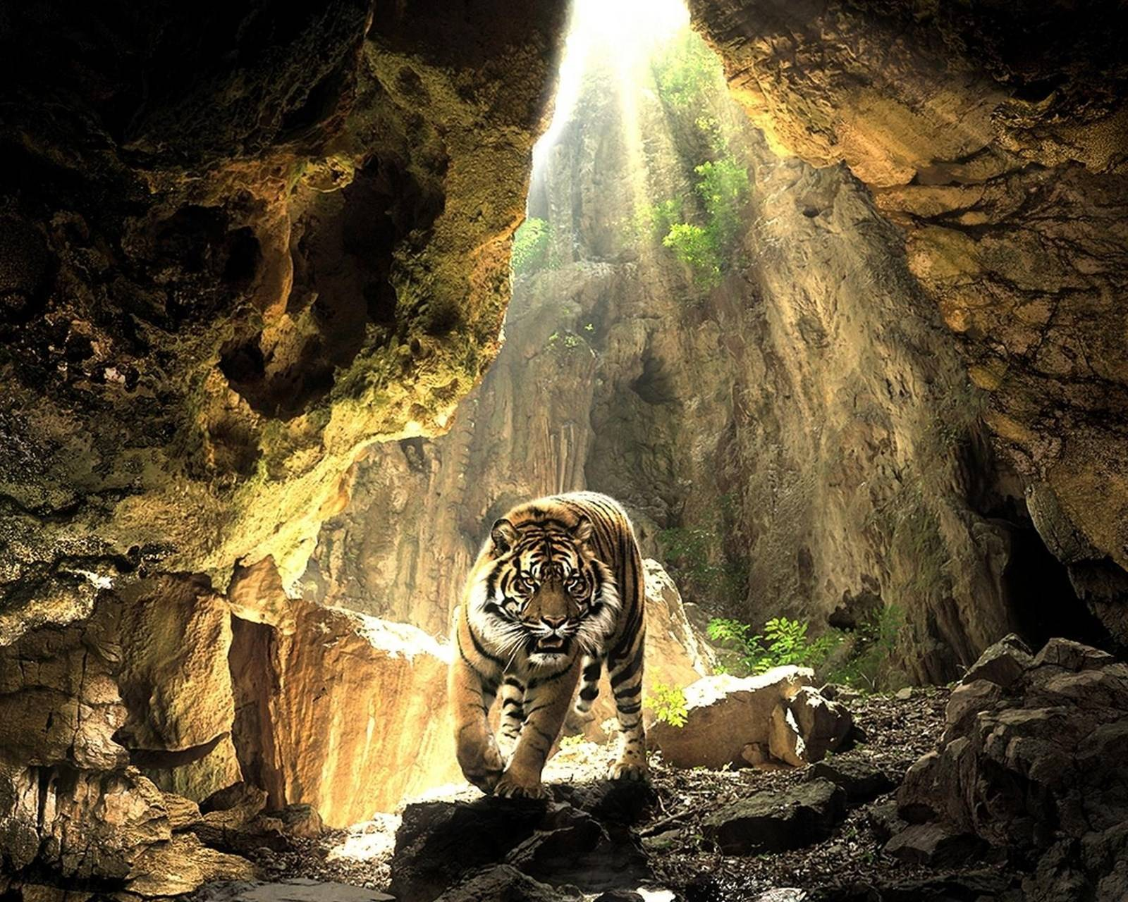 Tiger In The Gorge