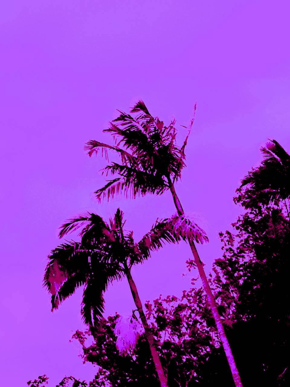 perple Palm tree