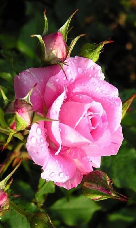 pink love rose