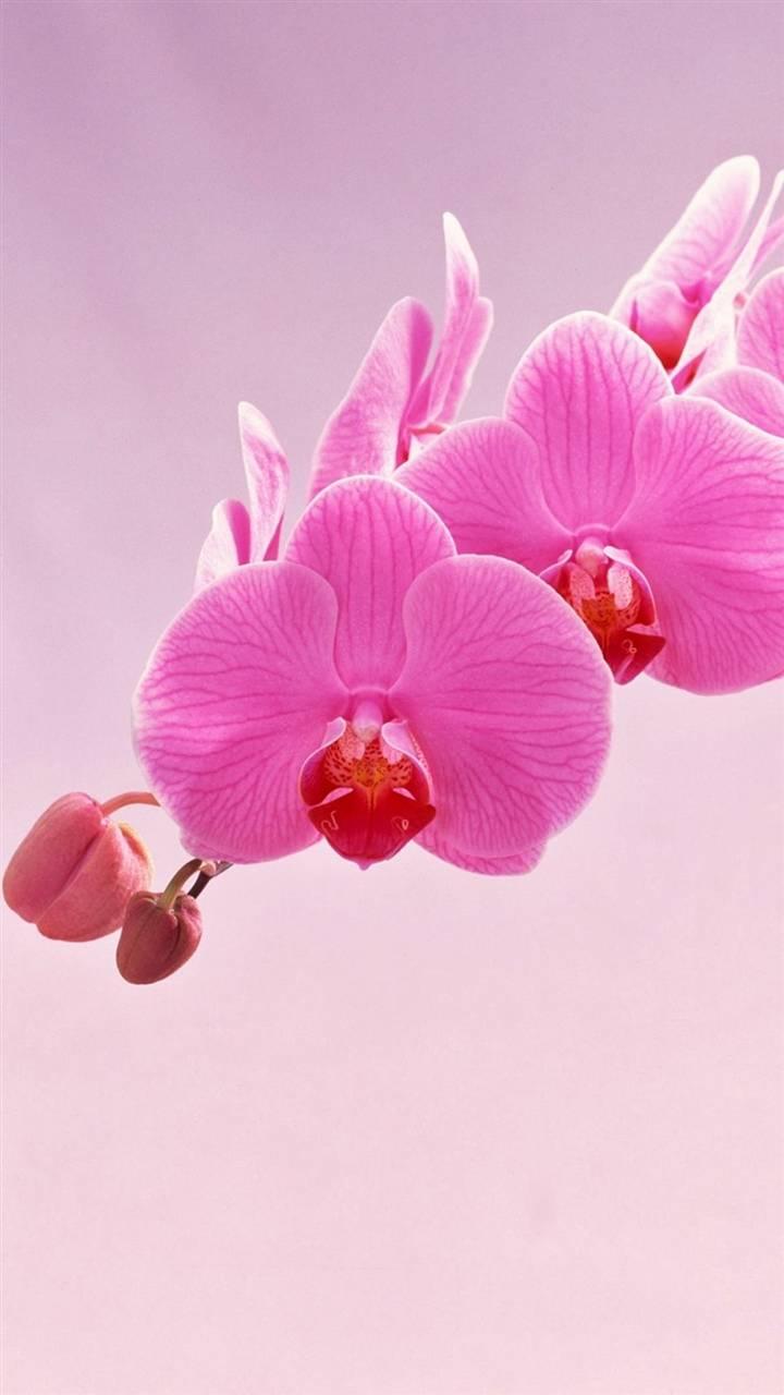 Pleasant pink