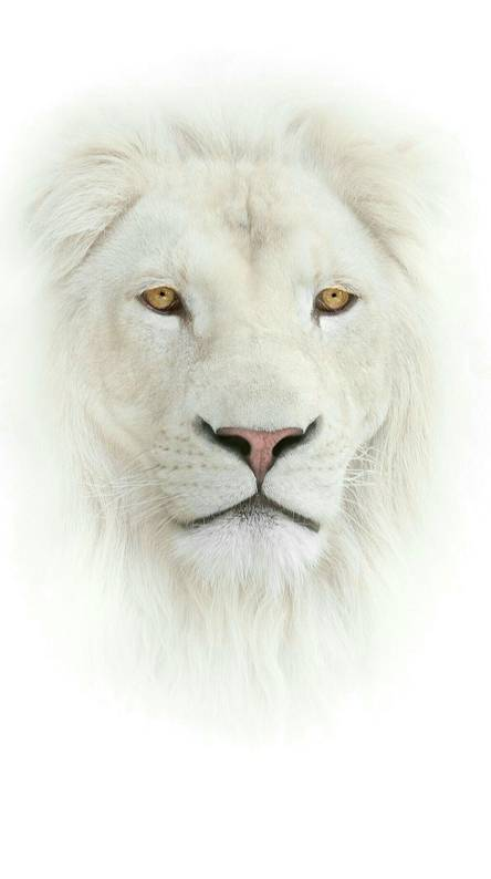 White Lion Wallpapers Free By Zedge