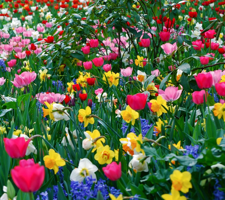Tulips Daffodils
