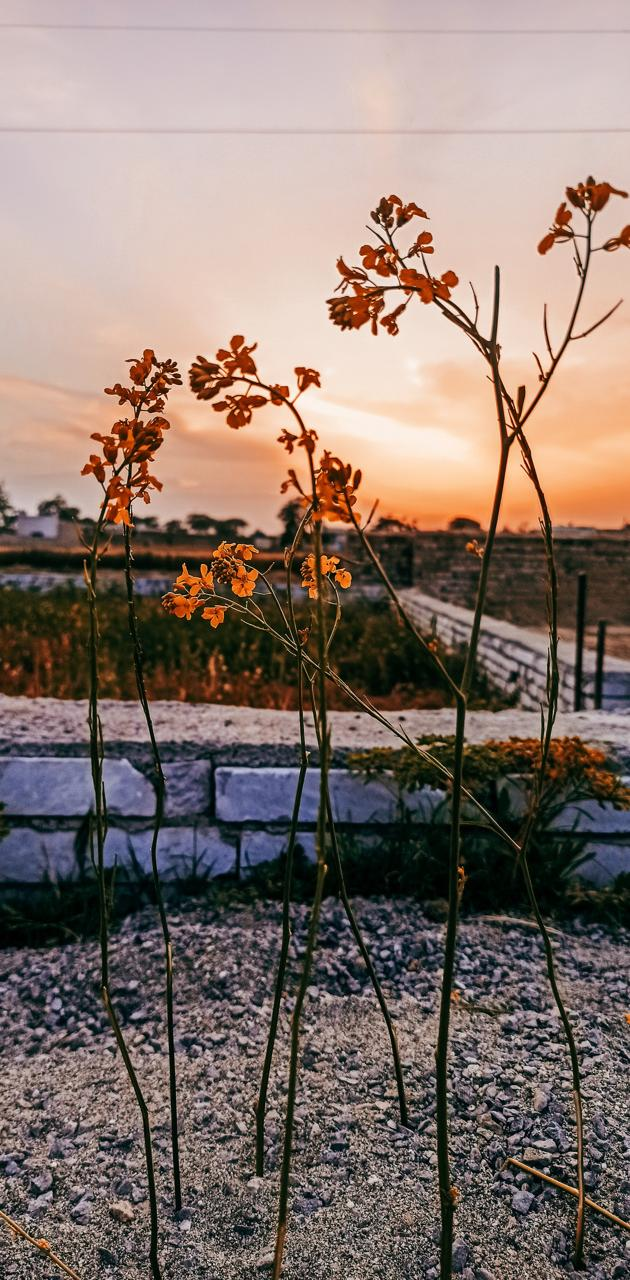 Sunset and flower