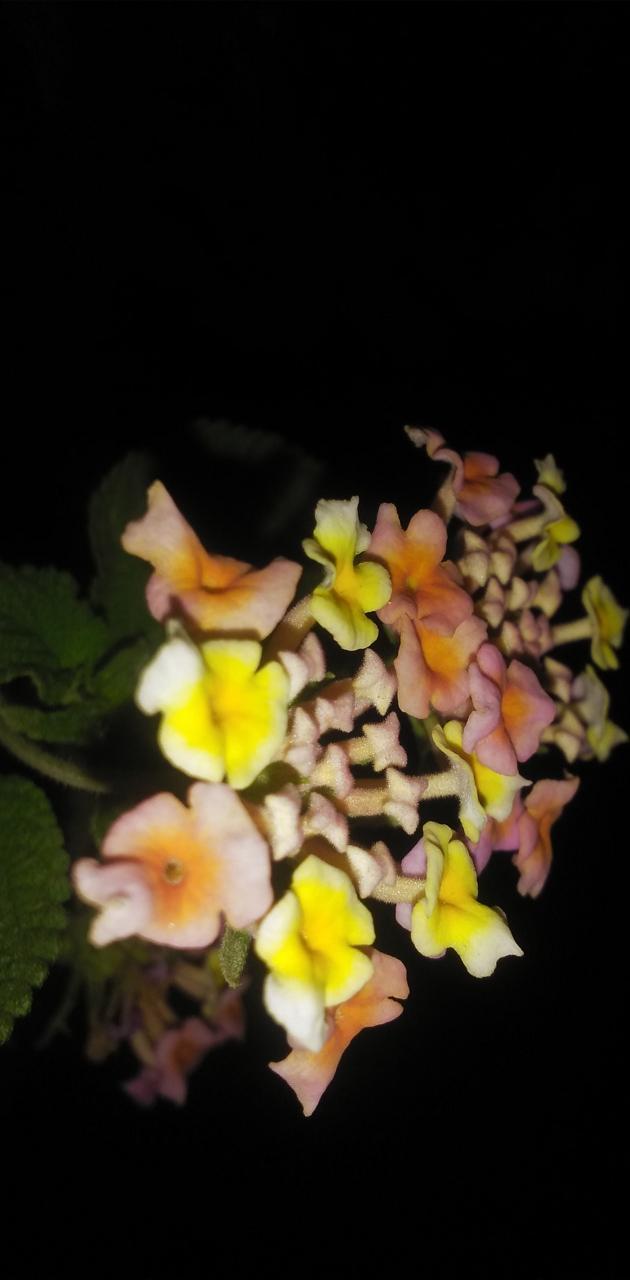 Flower in night mode